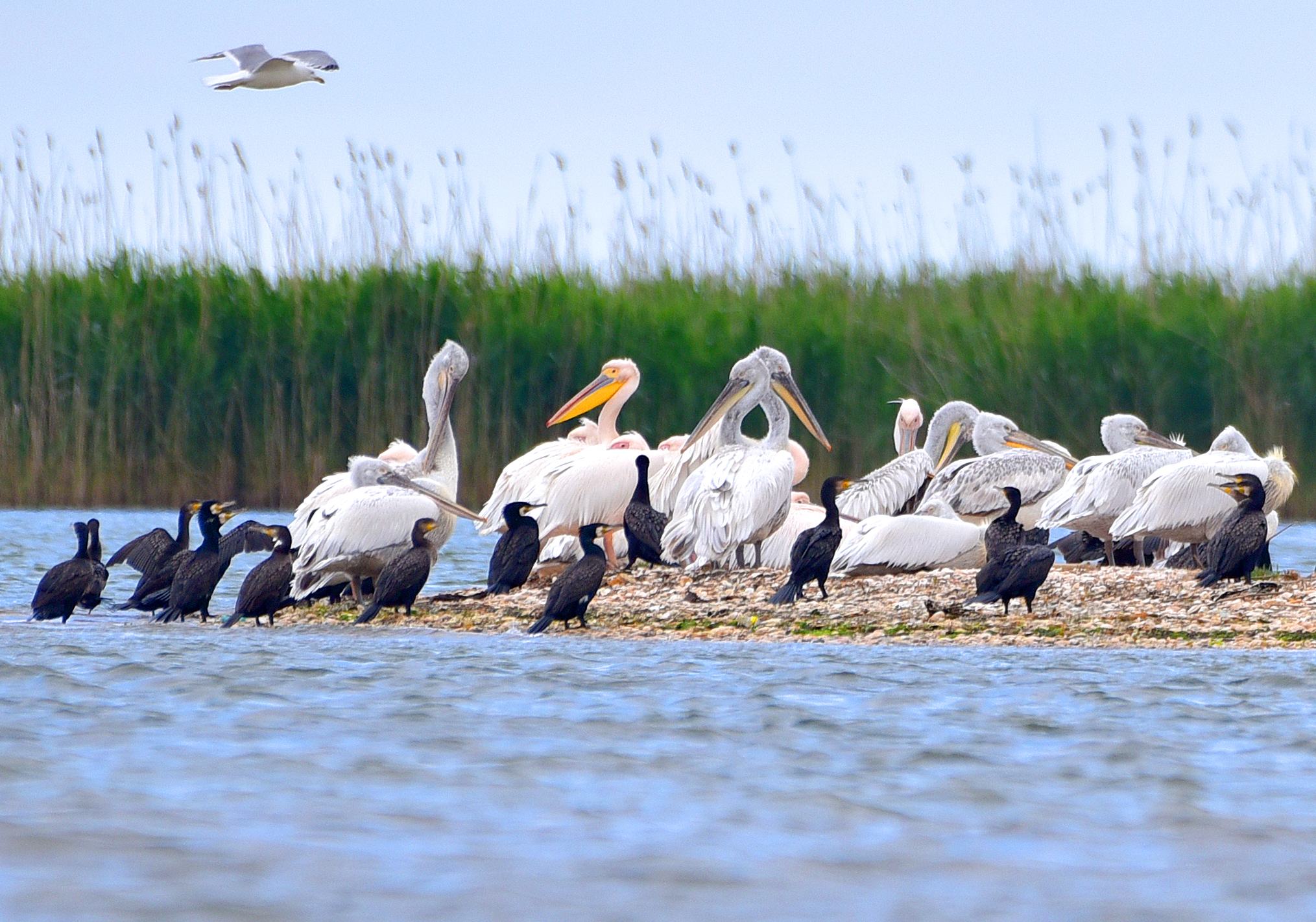 Pelicans and cormorants in the Danube Delta